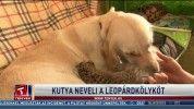 Kutya neveli a leopárdkölyköt
