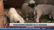 Feketeorrú bárány az új kedvenc
